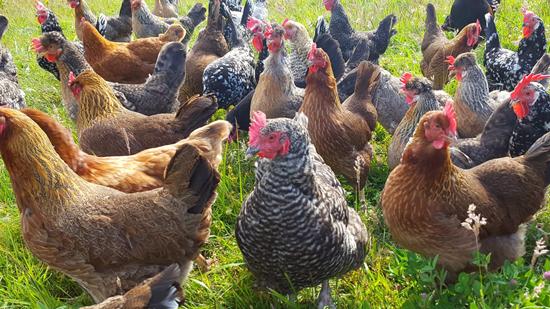 Sunny Side Up Farm Eggs